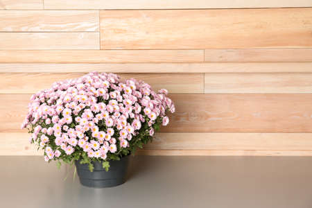 Beautiful potted chrysanthemum flowers on table near wooden wall. Space for text
