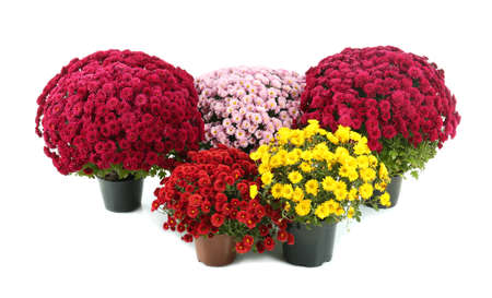 Beautiful chrysanthemum flowers in pots on white background