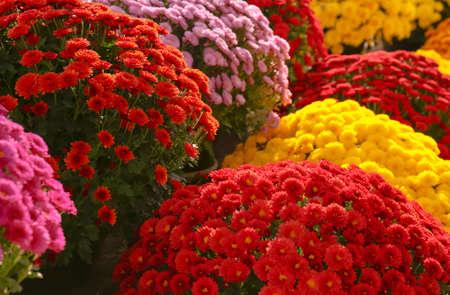 Vista de hermosas flores de crisantemo de colores frescos