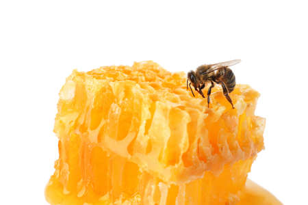Honeycomb and bee on white background. Domesticated insect