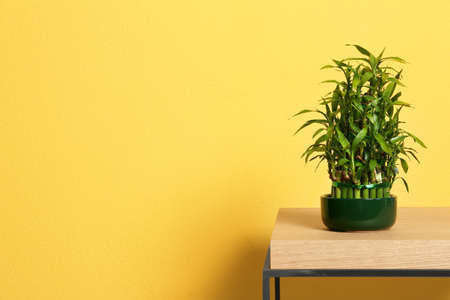 Pot with green bamboo on table against color background. Space for text