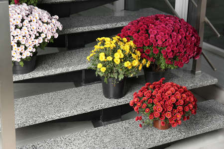 Beautiful composition with chrysanthemum flowers on stone stairs indoors