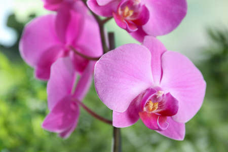 Beautiful tropical orchid flowers on blurred background, closeup