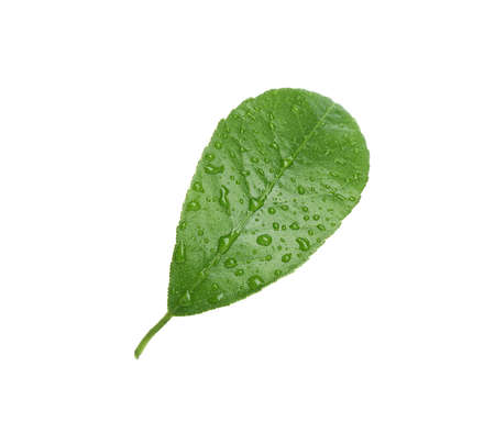 Fresh green citrus leaf with water drops on white background Stockfoto