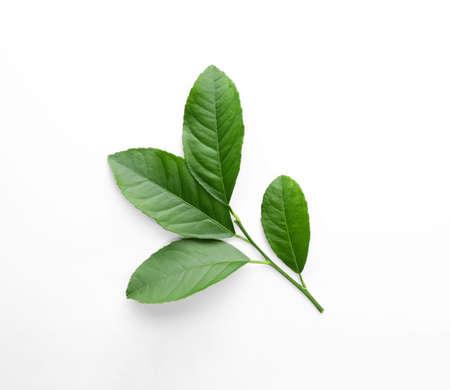 Frischer Zweig mit grünen Zitrusblättern auf weißem Hintergrund, Ansicht von oben