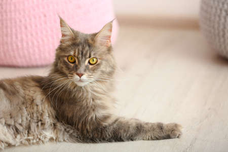Adorable Maine Coon cat on floor at home. Space for text Stock Photo