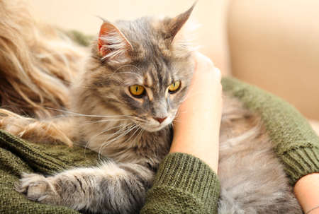 Woman with adorable Maine Coon cat at home, closeup