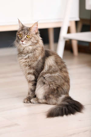 Adorable Maine Coon cat on floor at home 版權商用圖片