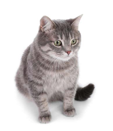 Portrait of gray tabby cat on white background. Lovely pet