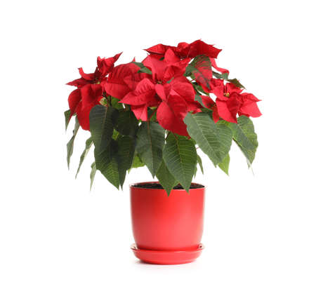 Pot with poinsettia (traditional Christmas flower) on white background