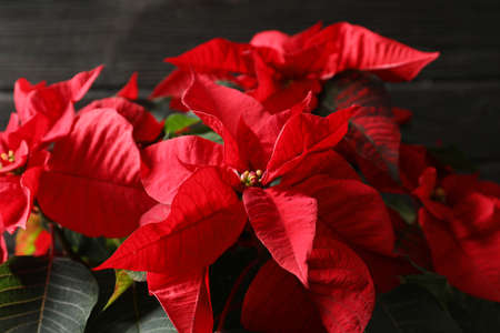 Poinsettia (traditional Christmas flower) against wooden background, closeup