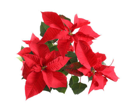 Poinsettia (traditional Christmas flower) on white background, top view