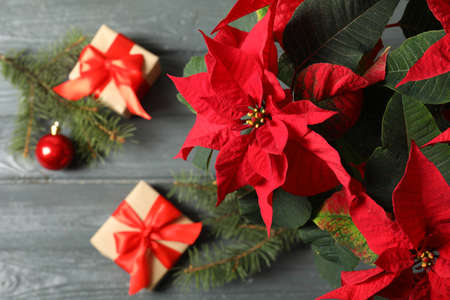 Poinsettia (traditional Christmas flower) with gift boxes on wooden table, top view