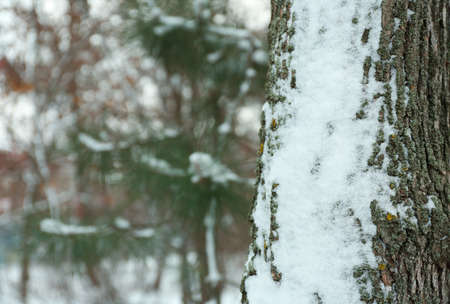 Tree trunk covered with snow outdoors on winter day. Space for text