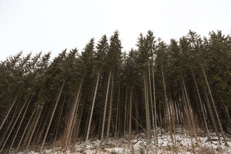 Beautiful view of conifer forest on winter day