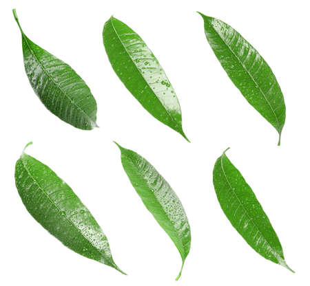 Composition of fresh mango leaves with water drops on white background, top view Reklamní fotografie - 116149327