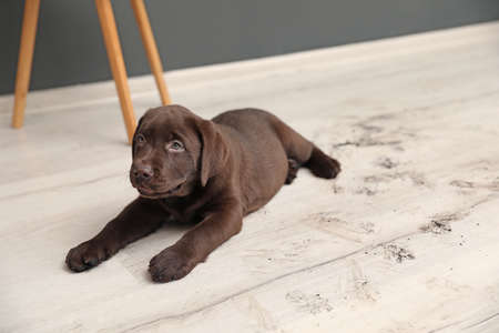 Chocolate Labrador Retriever puppy and dirty paw prints on floor indoors