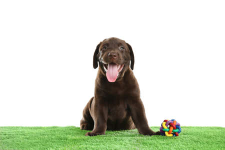 Chocolate Labrador Retriever puppy on green grass against white background