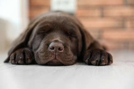 Chocolate Labrador Retriever puppy sleeping on floor indoors Stock Photo