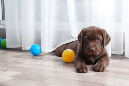 Chocolate Labrador Retriever puppy with colorful balls indoors. Space for text