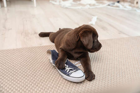 Chocolate Labrador Retriever puppy playing with sneaker on carpet indoors