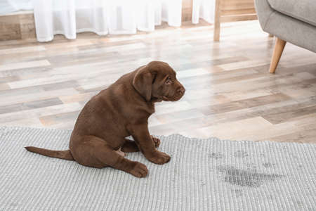Chocolate Labrador Retriever puppy and wet spot on carpet indoors Foto de archivo
