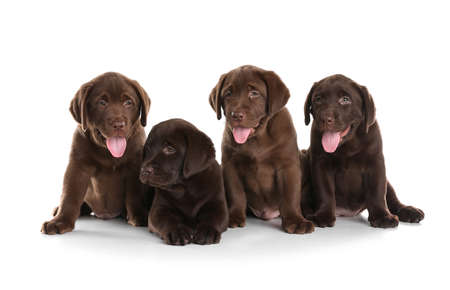 Chocolate Labrador Retriever puppies on white background