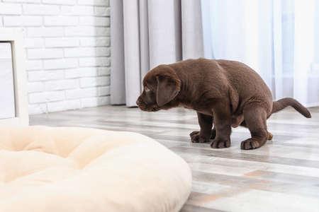 Cucciolo di Labrador Retriever cioccolato che fa la cacca sul pavimento in casa