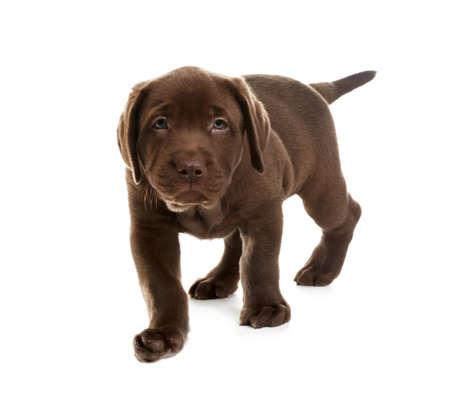 Chocolate Labrador Retriever puppy on white background