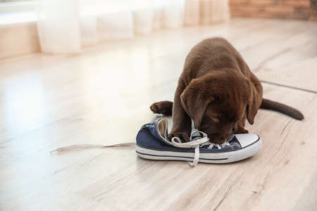 Chocolate Labrador Retriever puppy playing with sneaker on floor indoors. Space for text Banco de Imagens
