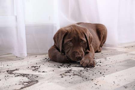 Chocolate Labrador Retriever puppy and dirt on floor indoors Stock Photo