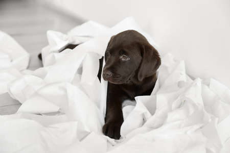 Cute chocolate Labrador Retriever puppy with torn paper on floor indoors Stock Photo