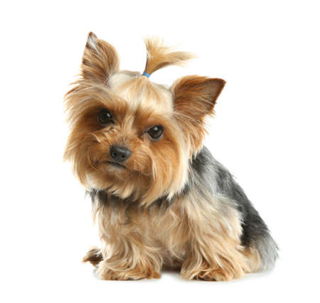 Yorkshire terrier isolated on white. Happy dog