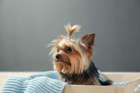 Yorkshire terrier in wooden crate against grey wall, space for text. Happy dog Imagens