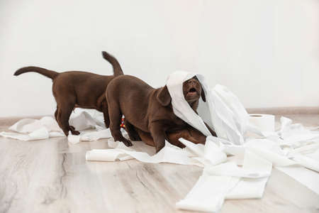 Cute chocolate Labrador Retriever puppies playing with torn paper on floor indoors Imagens