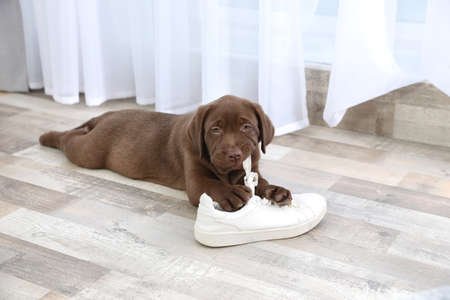 Chocolate Labrador Retriever puppy playing with sneaker on floor indoors