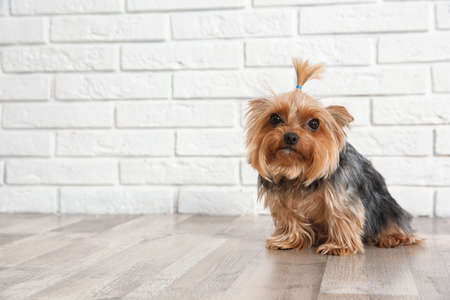 Yorkshire terrier on floor against brick wall, space for text. Happy dog