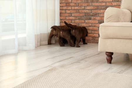 Chocolate Labrador Retriever puppies indoors. Pet care