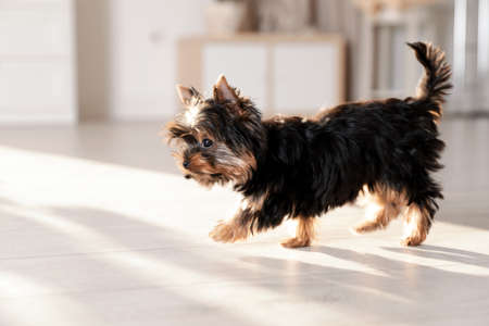 Cute Yorkshire terrier puppy on wooden floor indoors, space for text. Happy dog