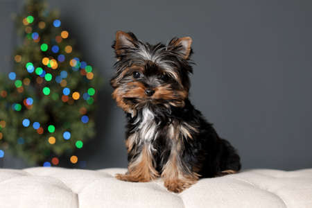 Cute Yorkshire terrier puppy and blurred Christmas tree on background. Happy dog Stock Photo
