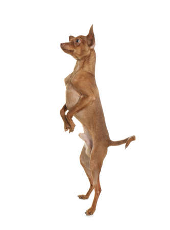 Cute toy terrier standing on hind legs against white background. Domestic dog Stock Photo