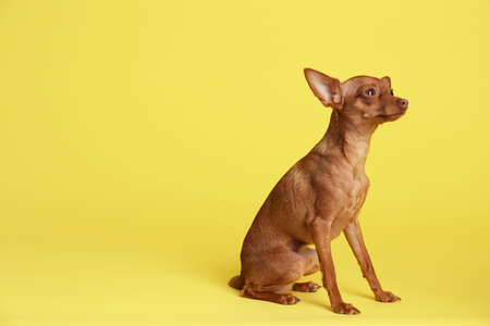 Cute toy terrier on color background, space for text. Domestic dog