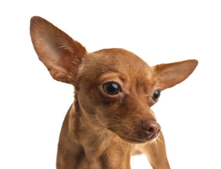 Cute toy terrier isolated on white. Domestic dog 스톡 콘텐츠