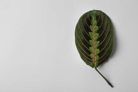 Leaf of tropical maranta plant on white background, top view Stockfoto