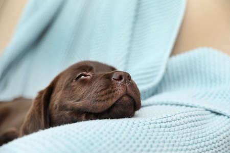 Chocolate Labrador Retriever puppy with blanket on sofa indoors Stock Photo