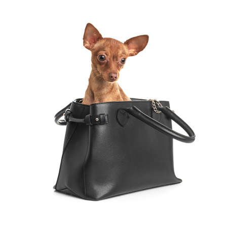 Cute toy terrier in female handbag isolated on white. Domestic dog Stockfoto