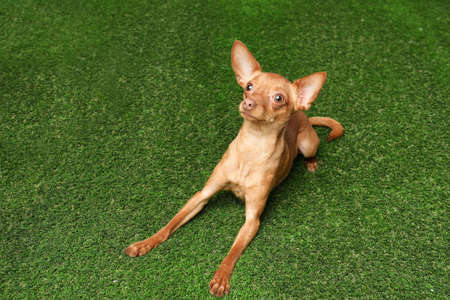 Cute toy terrier on artificial grass, space for text. Domestic dog