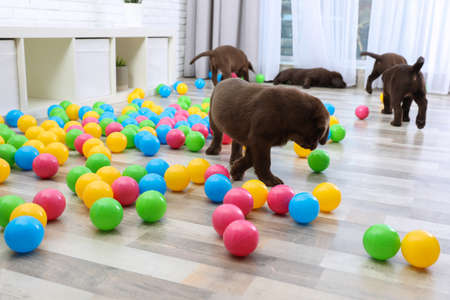 Chocolate Labrador Retriever puppies playing with colorful balls indoors Stock Photo