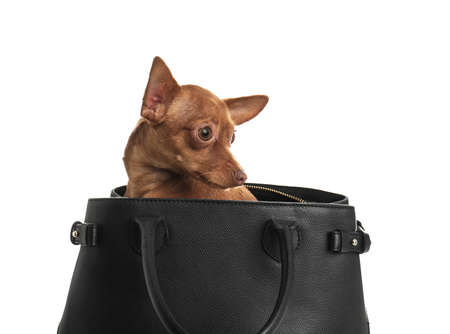 Cute toy terrier in female handbag isolated on white. Domestic dog Stock Photo