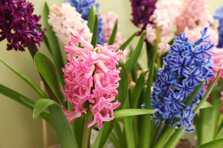 Beautiful spring hyacinth flowers with green leaves, closeup
